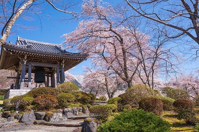 冨士霊園の満開の桜_b0145398_19560502.jpg