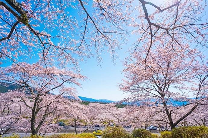 冨士霊園の満開の桜_b0145398_20070411.jpg