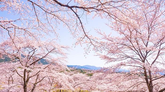 冨士霊園の満開の桜_b0145398_20092370.jpg
