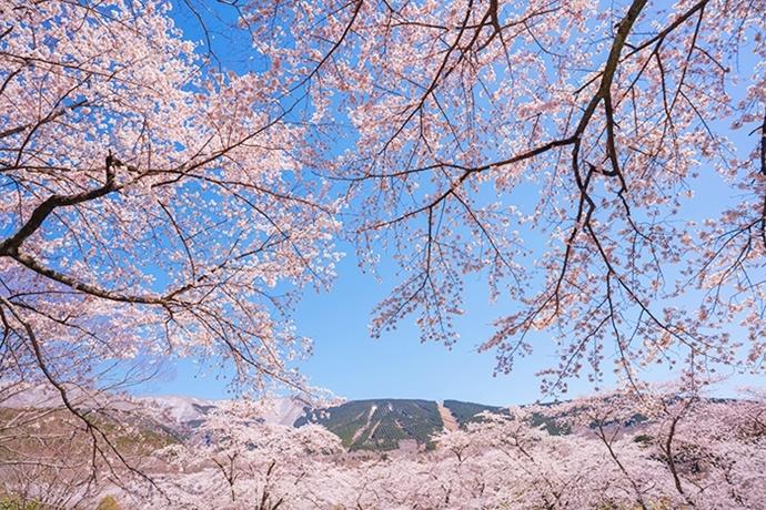 冨士霊園の満開の桜_b0145398_20093576.jpg