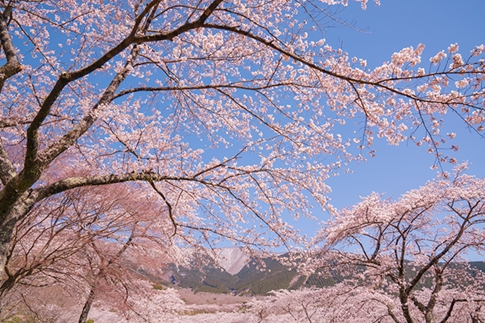 冨士霊園の満開の桜_b0145398_20095616.jpg