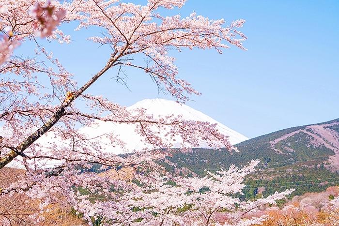 冨士霊園の満開の桜_b0145398_20101521.jpg