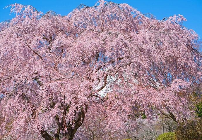 冨士霊園の満開の桜_b0145398_20105446.jpg