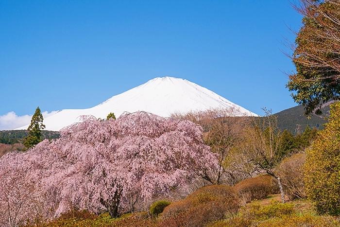 冨士霊園の満開の桜_b0145398_20143120.jpg