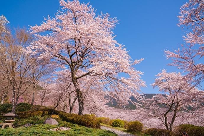 冨士霊園の満開の桜_b0145398_20152478.jpg
