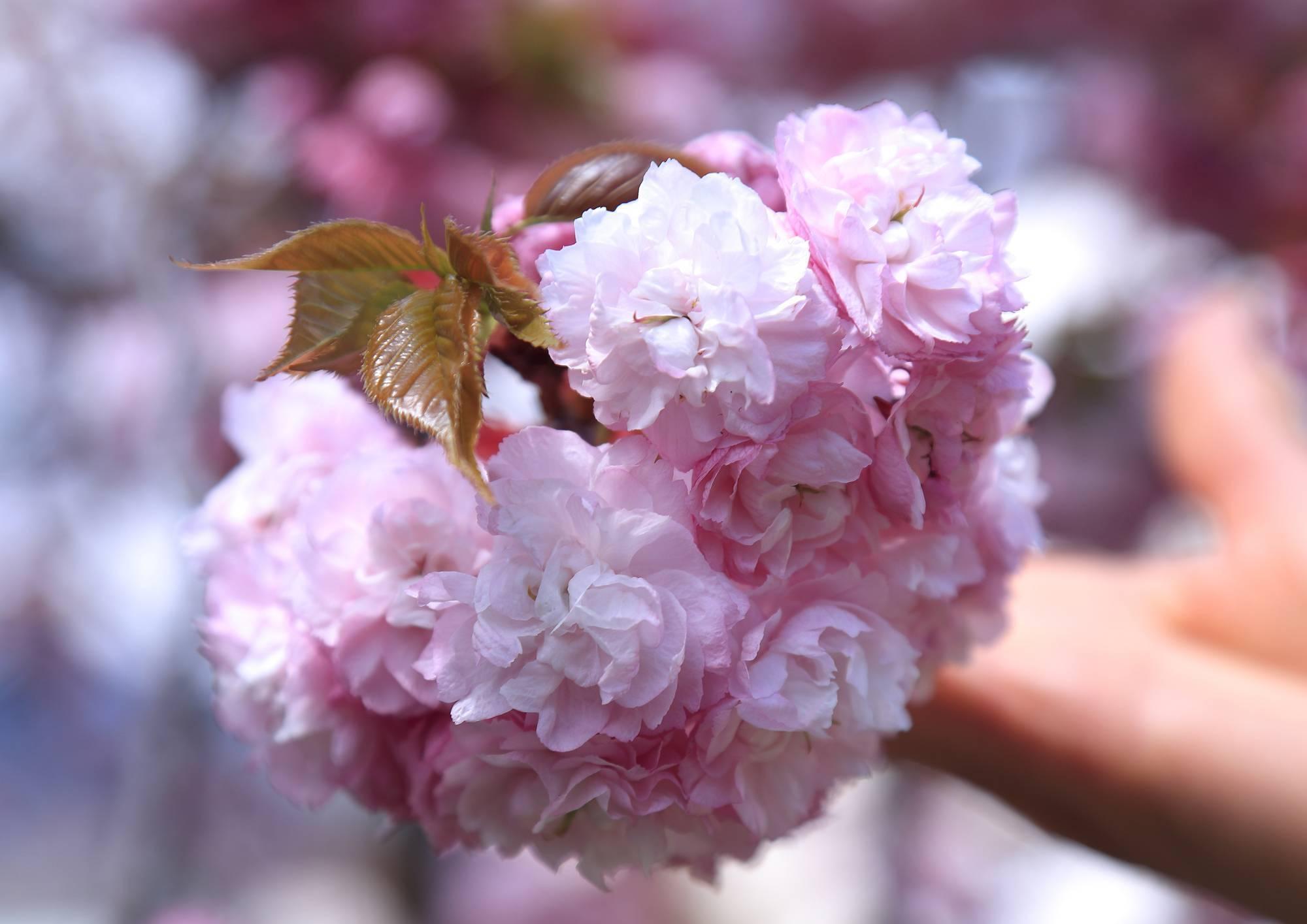 造幣局広島支局 ~花のまわりみち~ 八重桜イン広島 そのⅡ_a0140608_07274792.jpg