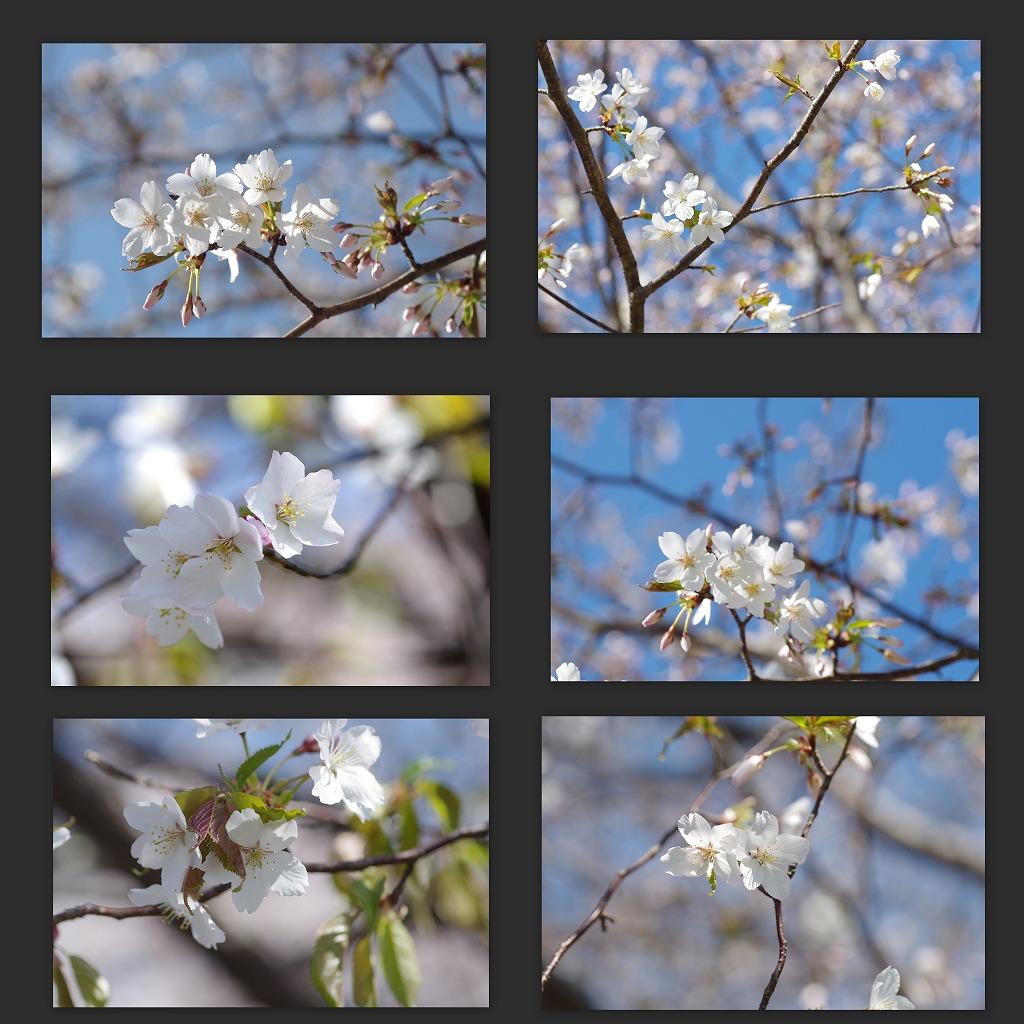 散り急ぐ桜_d0147812_10315163.jpg