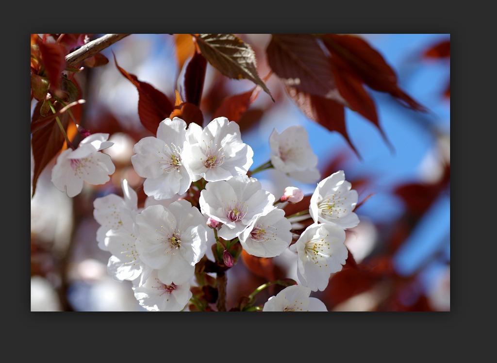 散り急ぐ桜_d0147812_10321495.jpg