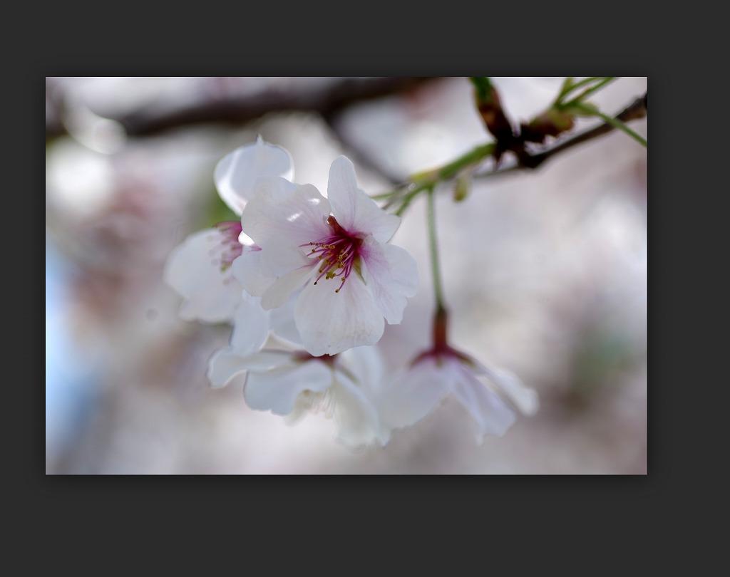 散り急ぐ桜_d0147812_1032583.jpg