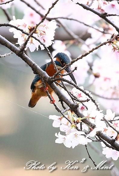 桜と「カワセミ」さん♪_e0218518_22024702.jpg