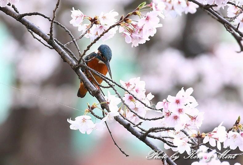 桜と「カワセミ」さん♪_e0218518_22030341.jpg