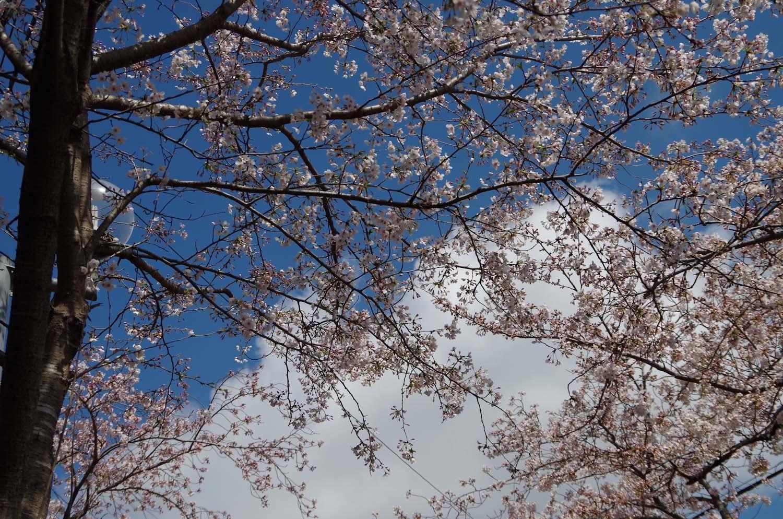 伊豆高原の桜_a0074540_20560452.jpg
