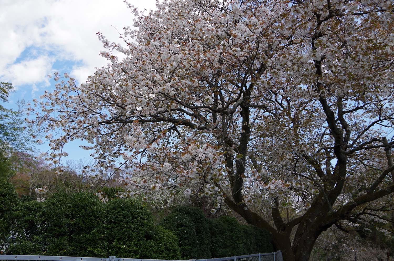 伊豆高原の桜_a0074540_20573939.jpg