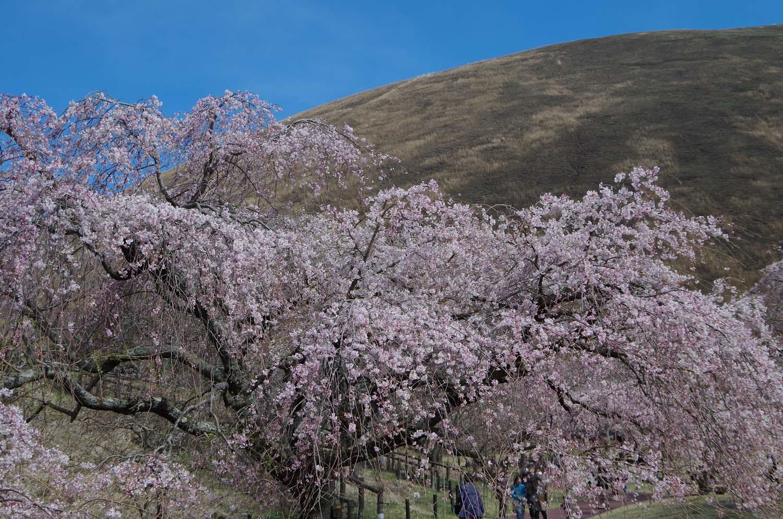 伊豆高原の桜_a0074540_21013477.jpg