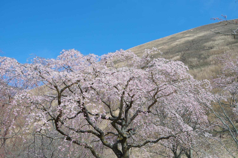 伊豆高原の桜_a0074540_21021683.jpg