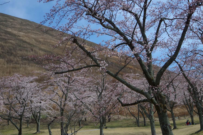 伊豆高原の桜_a0074540_21031350.jpg