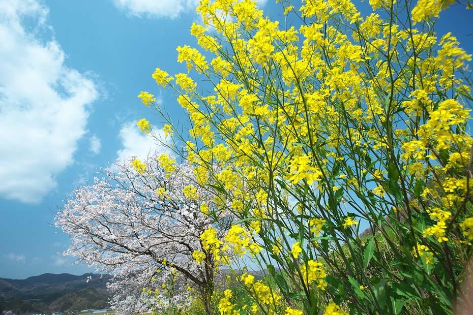 桜便り´19 #7_c0067040_21115717.jpg