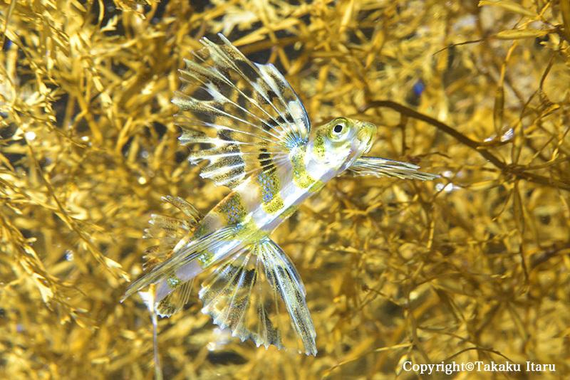 流れ藻の下で泳ぐツクシトビウオ幼魚_b0186442_21514077.jpg