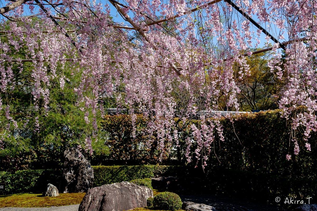 京都の桜 2019 〜5〜_f0152550_22191707.jpg