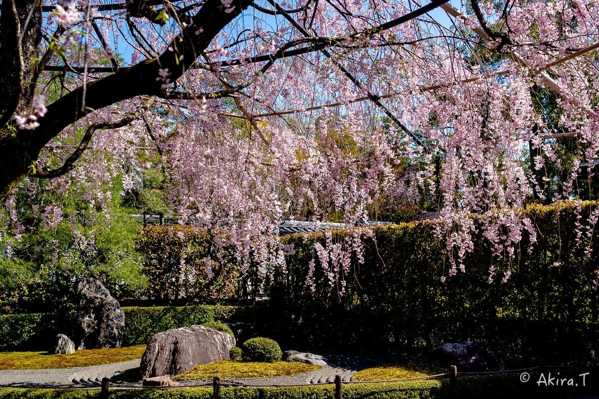 京都の桜 2019 〜5〜_f0152550_22192957.jpg
