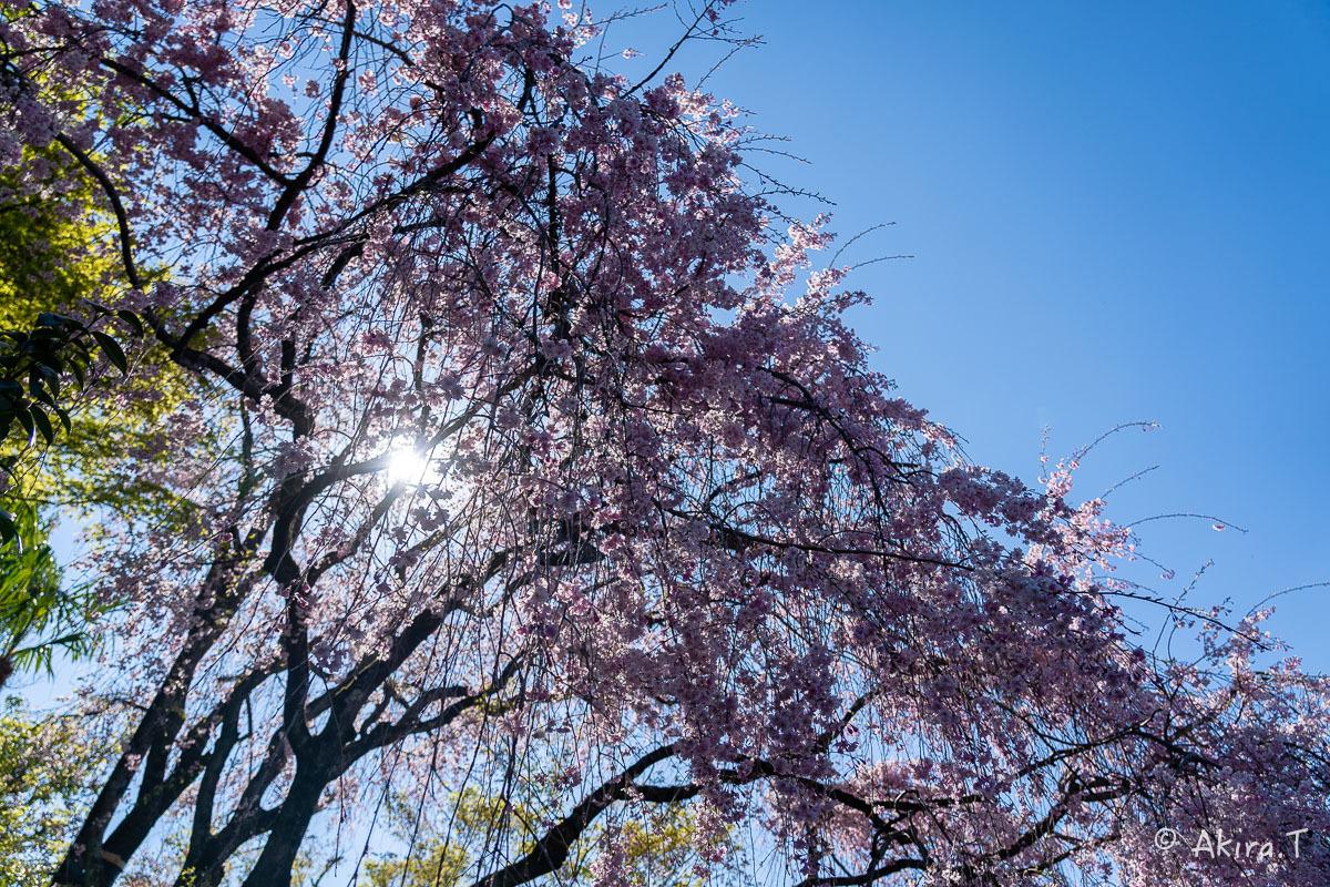 京都の桜 2019 〜5〜_f0152550_22201141.jpg