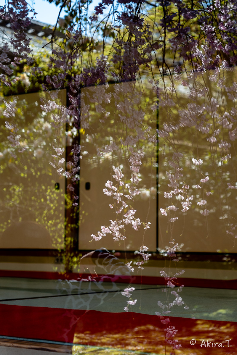 京都の桜 2019 〜5〜_f0152550_22201995.jpg