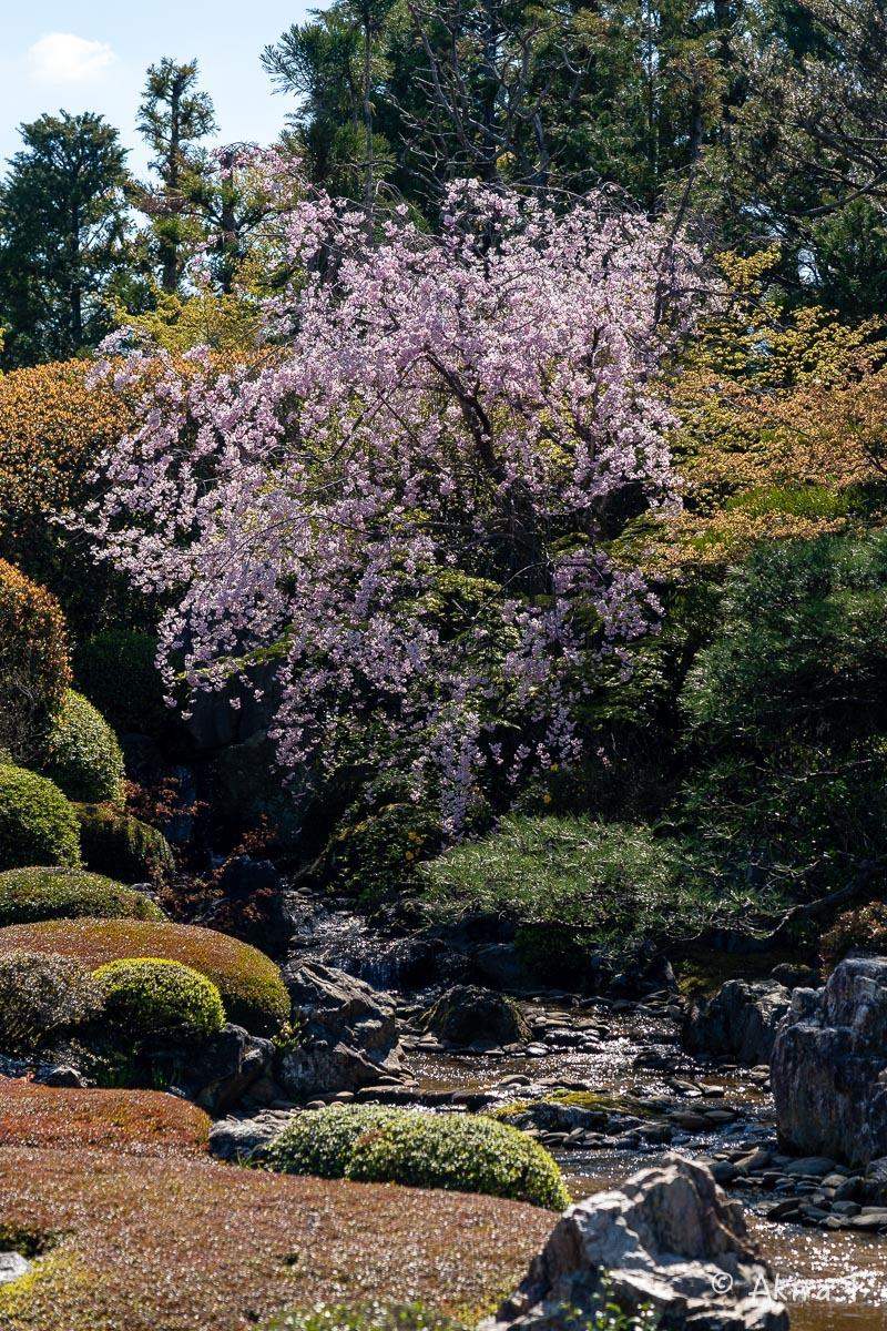 京都の桜 2019 〜5〜_f0152550_22215503.jpg