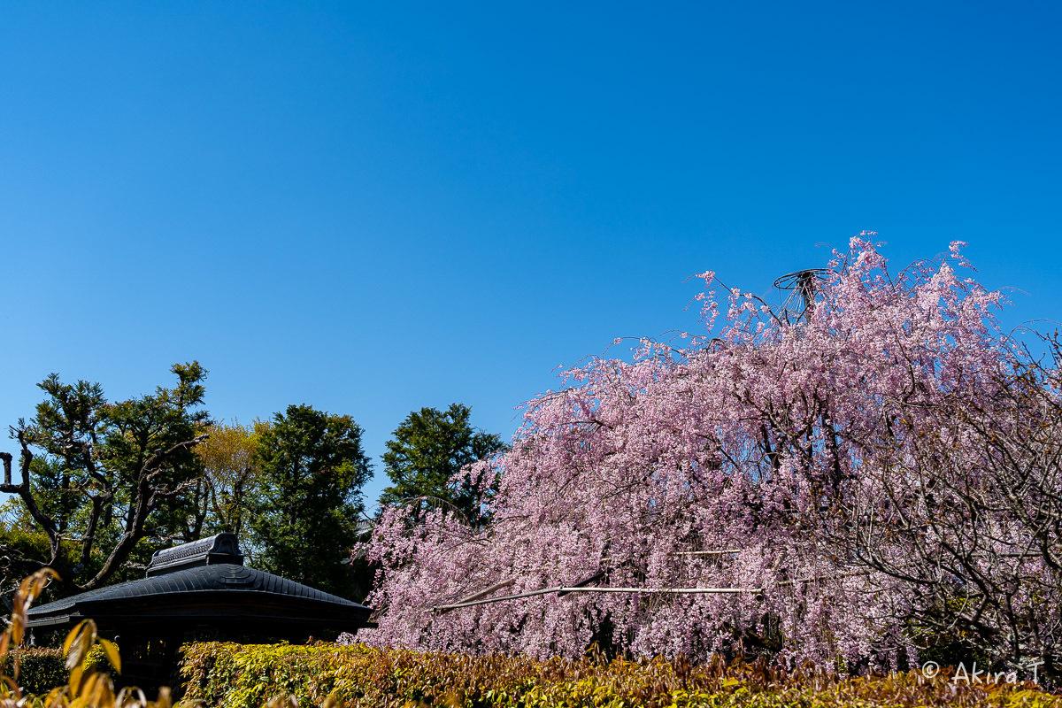 京都の桜 2019 〜5〜_f0152550_22222717.jpg