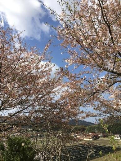 散りゆく桜と芽吹く若葉_c0334574_19364126.jpg