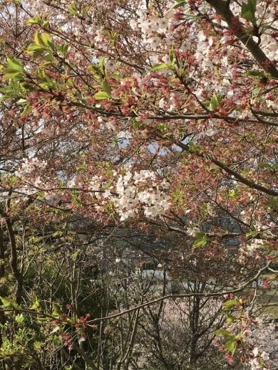 散りゆく桜と芽吹く若葉_c0334574_19364433.jpg