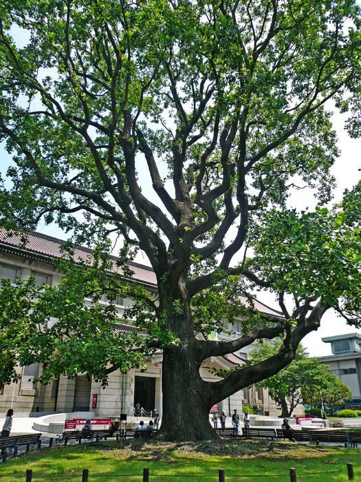 巨樹04_ユリノキ_d0016587_14093915.jpg