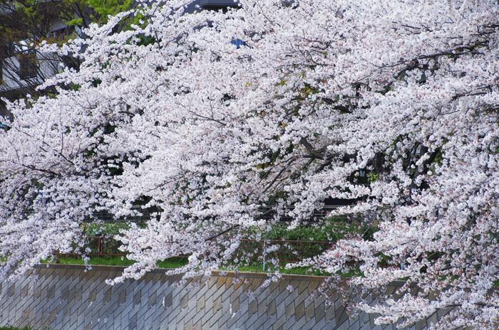桜物語 2019 春 その6 鴻沼川〜さくら草公園_d0016587_17583245.jpg