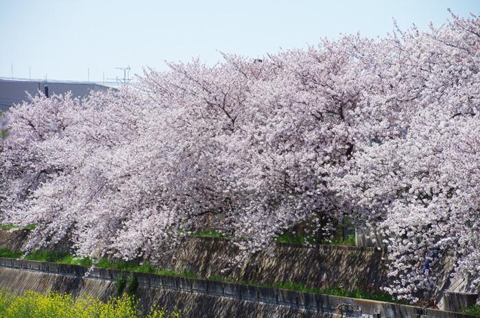 桜物語 2019 春 その6 鴻沼川〜さくら草公園_d0016587_17584228.jpg