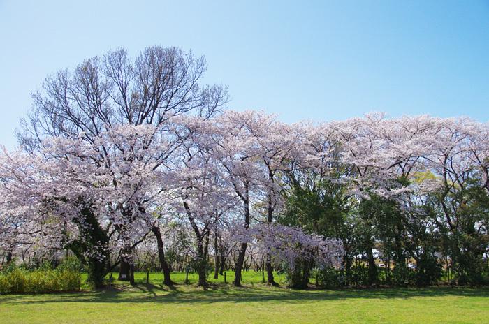 桜物語 2019 春 その6 鴻沼川〜さくら草公園_d0016587_17590512.jpg