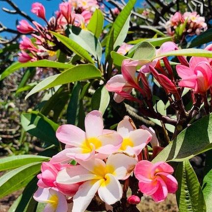 ハワイ島のお花たち♡_c0187025_12072978.jpg