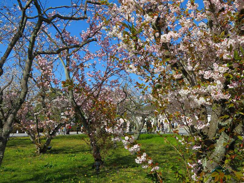 二条城の「枝垂桜」20190409_e0237645_22104509.jpg