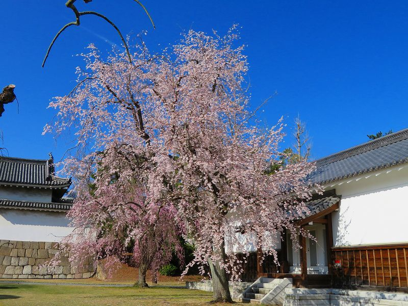 二条城の「枝垂桜」20190409_e0237645_22104524.jpg