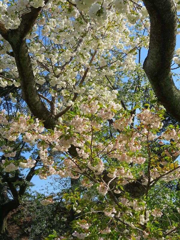 二条城の「枝垂桜」20190409_e0237645_22104551.jpg