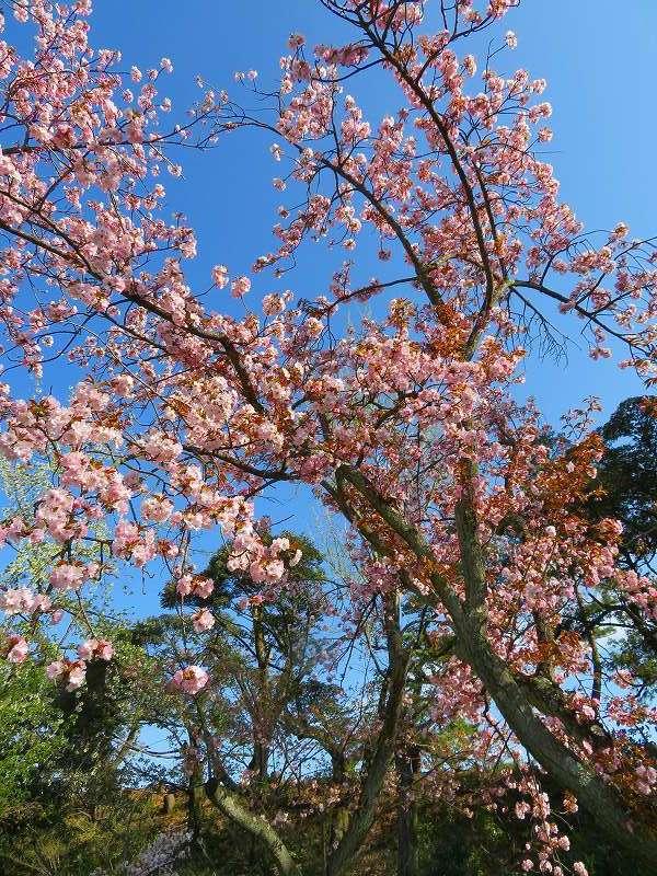 二条城の「枝垂桜」20190409_e0237645_22104562.jpg