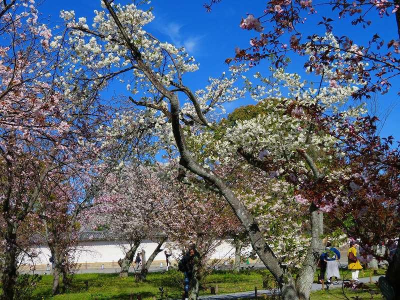 二条城の「枝垂桜」20190409_e0237645_22104583.jpg