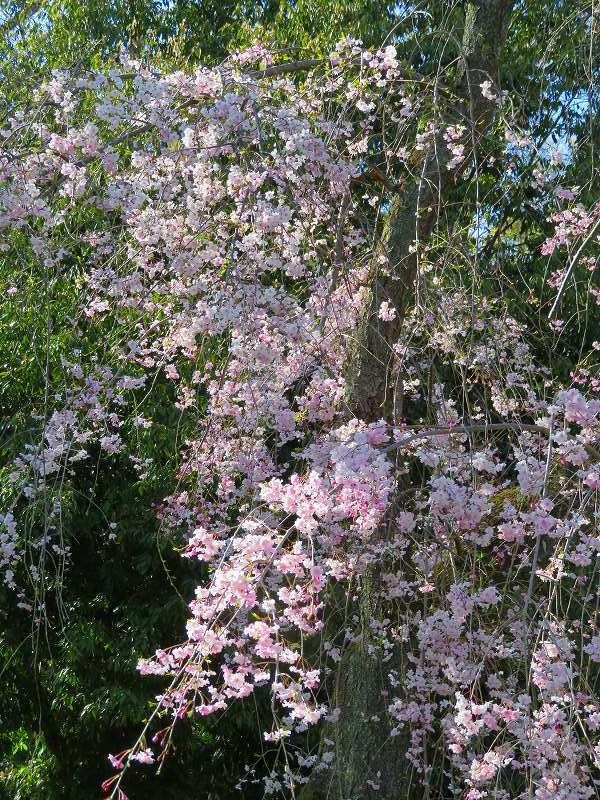 二条城の「枝垂桜」20190409_e0237645_22104622.jpg