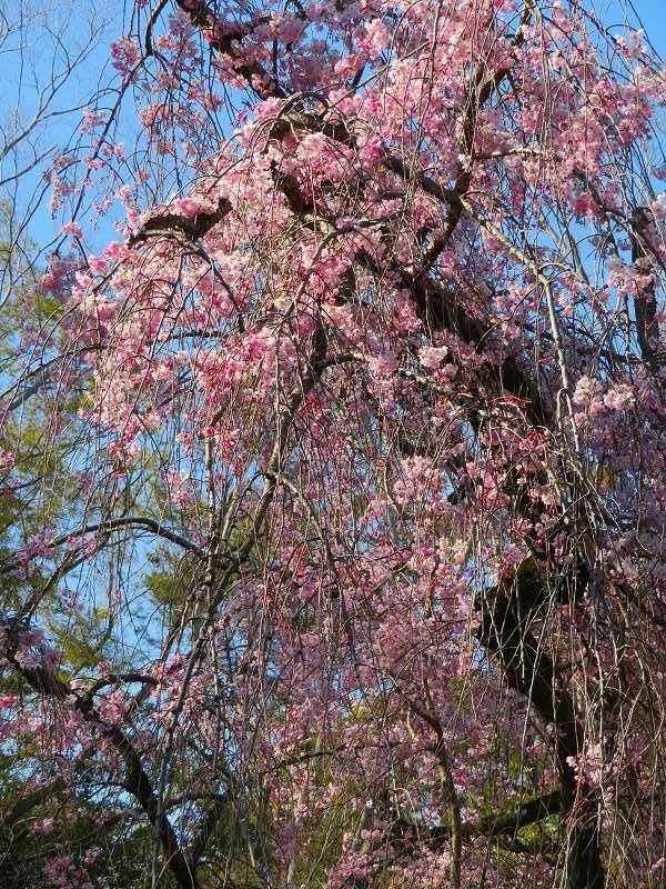 二条城の「枝垂桜」20190409_e0237645_22104632.jpg