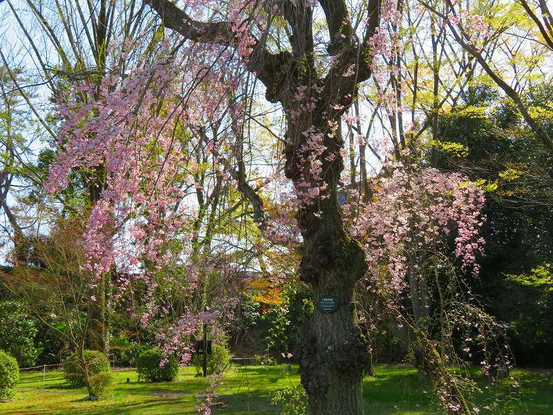 二条城の「枝垂桜」20190409_e0237645_22104673.jpg