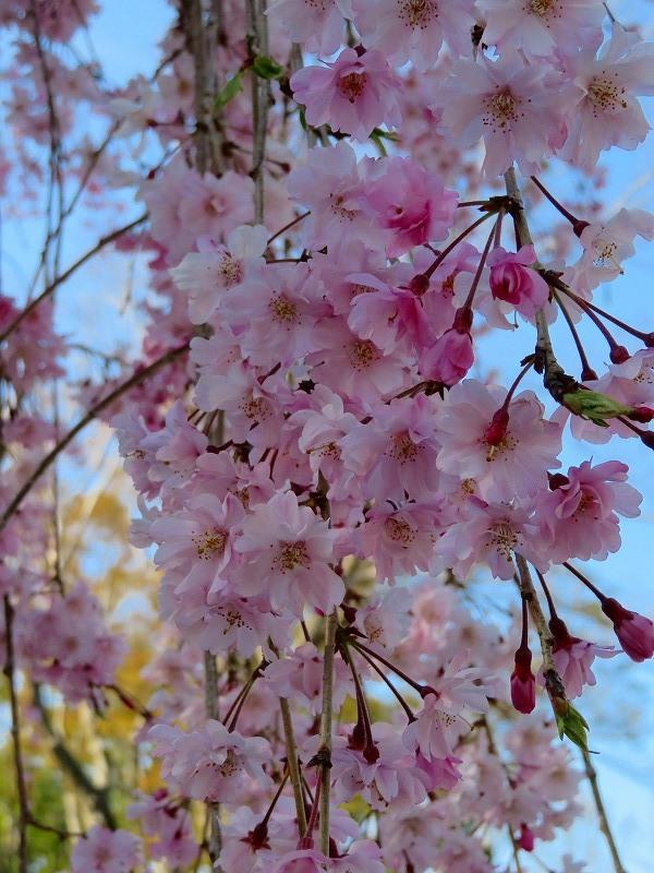 二条城の「枝垂桜」20190409_e0237645_22135302.jpg