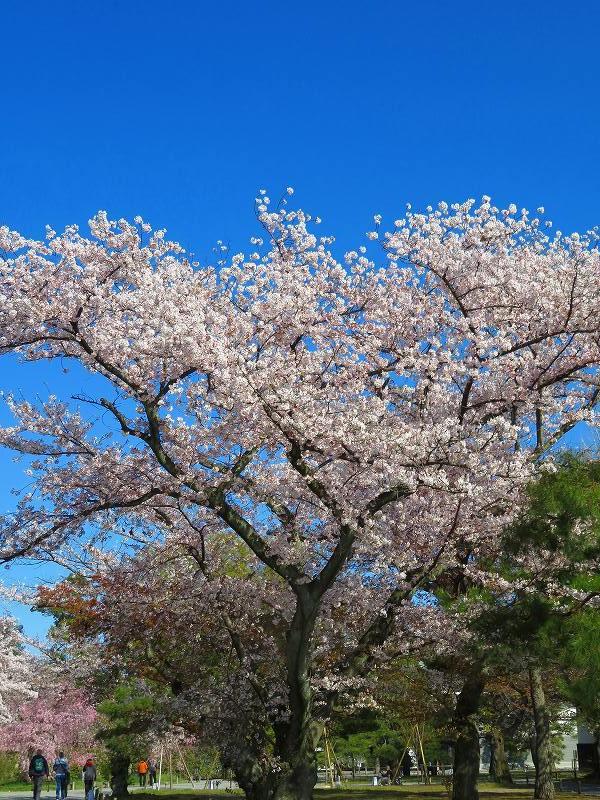 二条城の「枝垂桜」20190409_e0237645_22135428.jpg