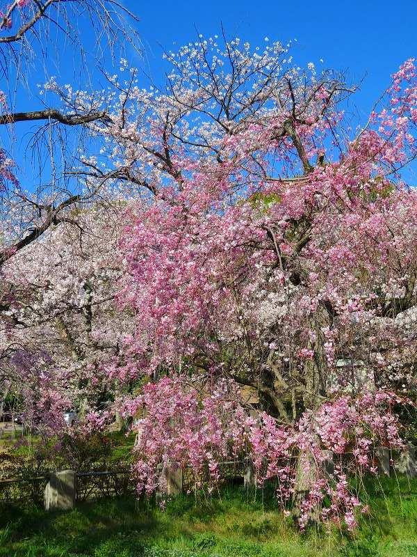 二条城の「枝垂桜」20190409_e0237645_22135482.jpg