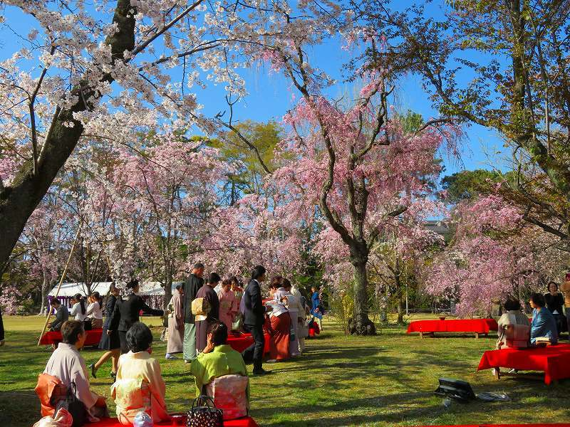 二条城の「枝垂桜」20190409_e0237645_22135499.jpg