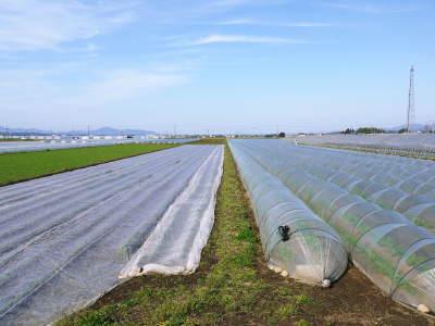 有機栽培の水田ごぼう まもなく平成31年度の先行予約受付スタート!収穫前の様子を現地取材!_a0254656_19291667.jpg