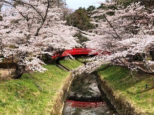桜が満開_e0211357_09514194.jpg