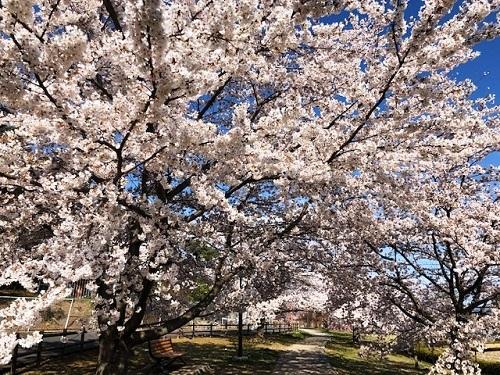 桜が満開_e0211357_09514332.jpg
